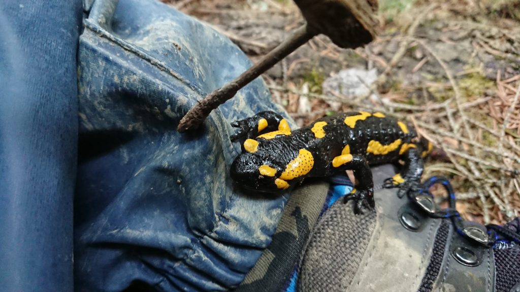 fire salamander on my boot